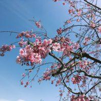青空の下で桜が咲いている
